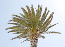 Green palm tree top. Backgrounded by a clear blue sky Stock Images