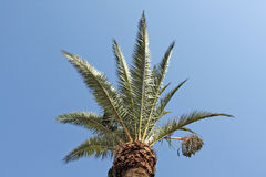 Green palm tree top. Backgrounded by a clear blue sky Stock Photos