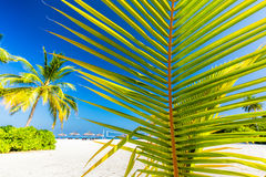 Green palm tree on tropical beach in Maldives. Indian Ocean Royalty Free Stock Photography