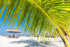 Green palm tree on tropical beach in Maldives. Indian Ocean Stock Photos