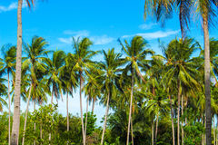 Green palm tree on tropical island. Turquoise blue sky background. Stock Image