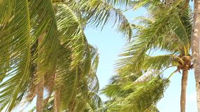 Green palm tree waving on wind at summer beach on background blue sky. Coconut palm trees on clear sky backdrop. Green palm tree waving on wind at summer beach stock footage