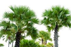 Green palm tree Royalty Free Stock Photo