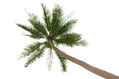 Green palm tree  on white Stock Photos