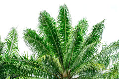 Green palm tree on white background Stock Image