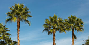 Green palm trees against blue sky Royalty Free Stock Image