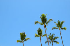 Green palm trees against blue sky Stock Photo