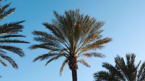 Green palm trees against blue sky. Group of palm trees swaying against sky. Palm leaves swaying in wind. stock video
