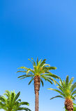 Green palm trees and blue sky in the background Royalty Free Stock Photo