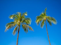 Green palm trees Royalty Free Stock Photo