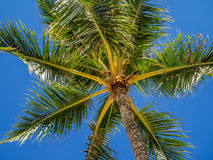 Green palm trees Royalty Free Stock Photography