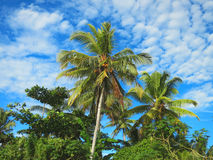 Green palm trees on blue sky background Royalty Free Stock Photography