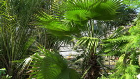 Green palm trees and coniferous trees in the botanical garden. A good sunny day stock footage