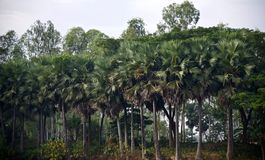 Green palm trees in a forest area. Beautiful green palm trees in a forest area isolated unique photo stock image
