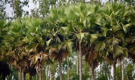 Green palm trees in a forest area. Beautiful green palm trees in a forest area isolated unique photo stock photography