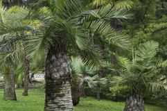 Green palm trees in a garden. Tropical Stock Photography