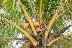 Green palm trees. Large leaves. Coconuts. Juicy green big palm trees. Large leaves. Coconuts. Yellow colors Royalty Free Stock Photography