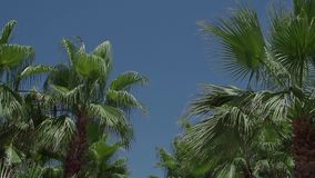 A lot of palm trees against a clear blue sky. Green palm trees sway in the wind on a summer day against a blue sky in the tropics stock video