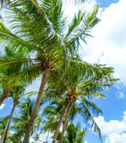 Green palm trees under a blue Caribbean sky. Some green palm trees under a blue Caribbean sky Stock Photos