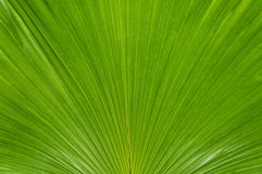 Green Palmate Palm Stock Photo