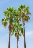 Green palms. Stock Images