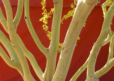 Green Palo Verde Trunks Royalty Free Stock Photography