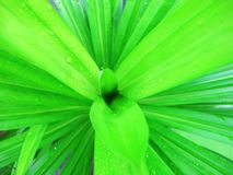 Green pandan leaves. Views from the top royalty free stock images