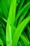 Green Pandanus Leaf Royalty Free Stock Image