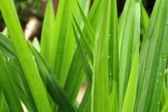 Green pandanus leaf Royalty Free Stock Photo