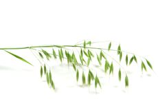 Green panicle of oat Royalty Free Stock Photos