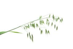 Green panicle of oat Royalty Free Stock Image