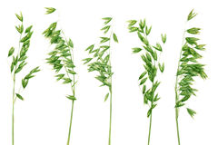 Green Panicles Of Oat. Royalty Free Stock Image