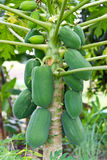 Green Papaya Stock Image