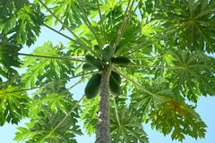 Green papaya Royalty Free Stock Photo