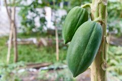 Green papaya fruit have bokeh of garden as background royalty free stock photos