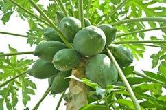 Green papaya fruit on the tree Royalty Free Stock Images
