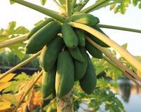 Green papaya fruits. Grow on the tree Royalty Free Stock Image