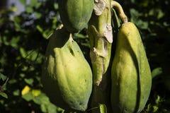 Green Papaya Royalty Free Stock Image