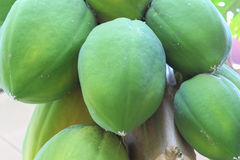 Green papaya. Group of green papaya fruit Royalty Free Stock Photography