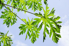Green papaya leaf with a blue sky background. Royalty Free Stock Image