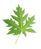 Green Papaya leaf isolated on white Royalty Free Stock Images