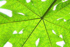 A green papaya leaf on white background. Green papaya leaf on white background Stock Image