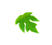 Green papaya leave. On white background Royalty Free Stock Images