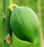 Green papaya in plant Royalty Free Stock Image