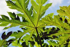 Green papaya Stock Images
