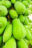 Green papaya on tree Royalty Free Stock Photos