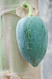 Green papaya on tree Stock Photography