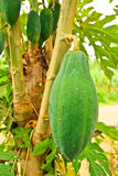 Green papaya on tree Stock Photos