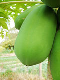 Green papaya Royalty Free Stock Photography