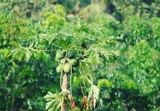 Green papaya tree bird green leafs natural tree stock photography